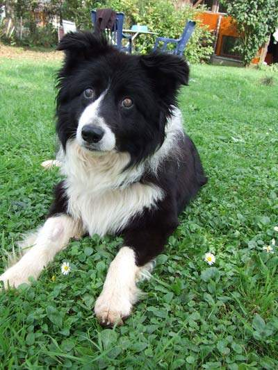 joshi bordercollie mix blind 4 jahre tierheim mulhousefrankreich hunde welpen katzen. Black Bedroom Furniture Sets. Home Design Ideas